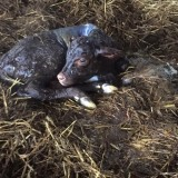 First new heifer calf born for 2016