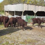 Sussex cattle released for spring grazing