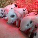 Gloucester Old Spot piglets born for Easter weekend